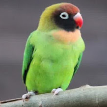 Cara Mengatasi Lovebird Galak Dan Jarang Ngekek