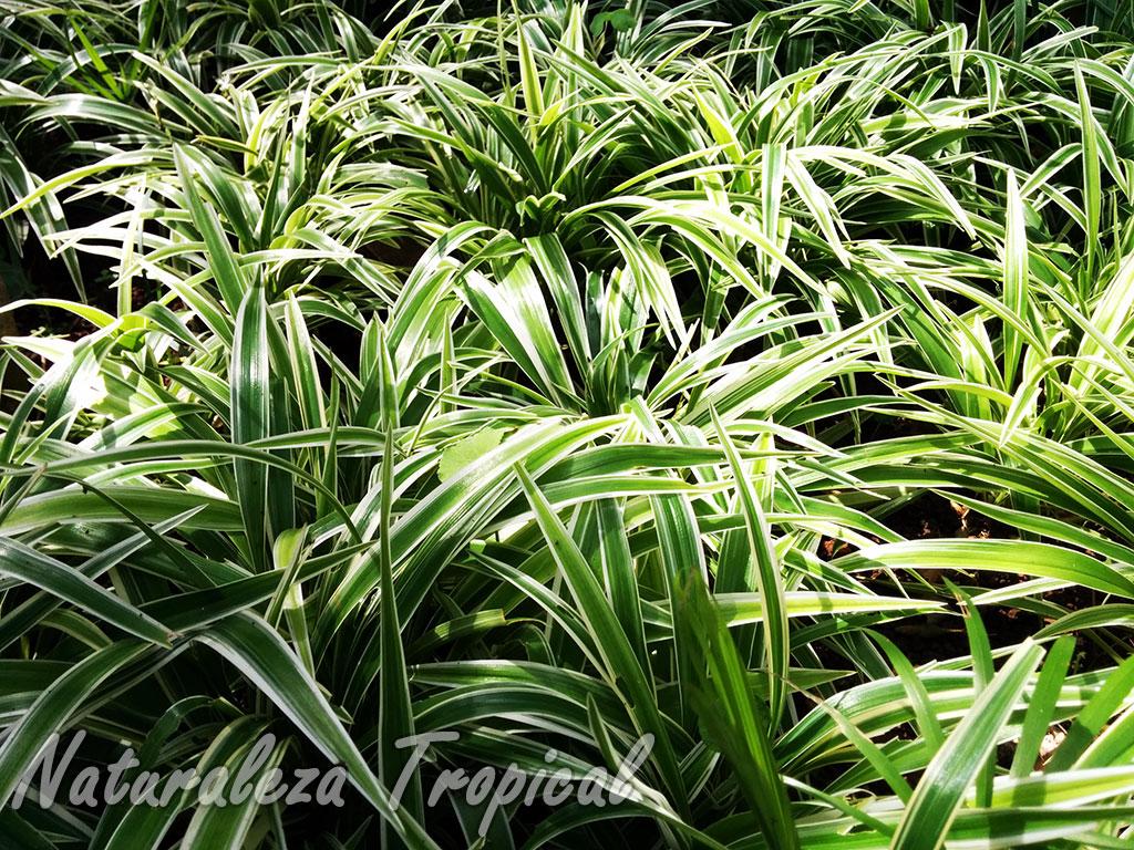 Naturaleza tropical noviembre 2016 - Cinta planta ...