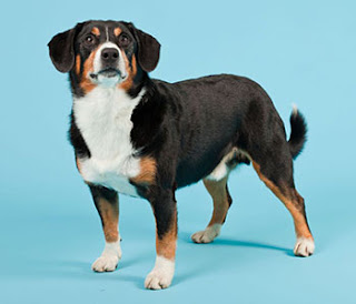 Everything about your Entlebucher Mountain Dog