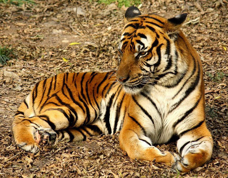 Harimau yang Luar Biasa