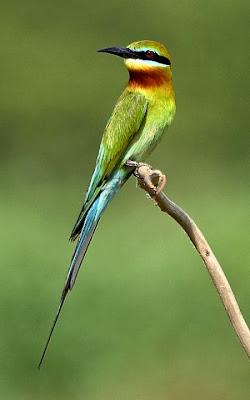 Abejaruco cola azul Merops philippinus