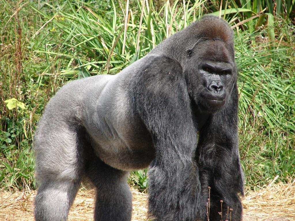 Gorilla en la niebla online dating 10