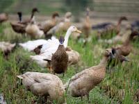 Ternak Bebek Dengan Naungan Plastik UV, Dijamin Hasilnya Luar Biasa