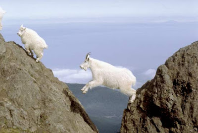 mountain goat predators