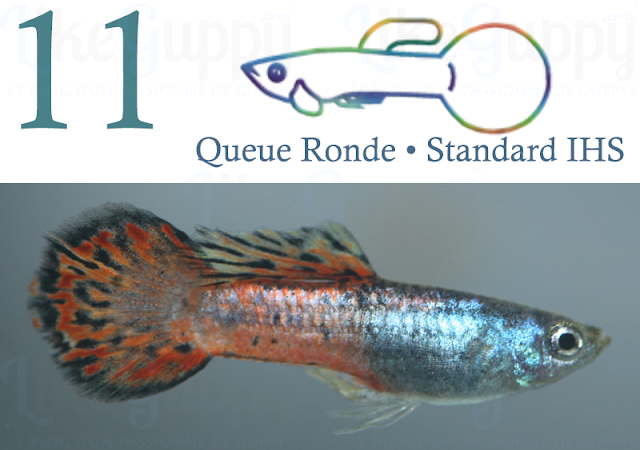 guppy-queue-ronde-standard-ihs