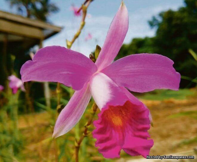 Bunga Orkid Tahan Panas Berjaya Di Hasilkan