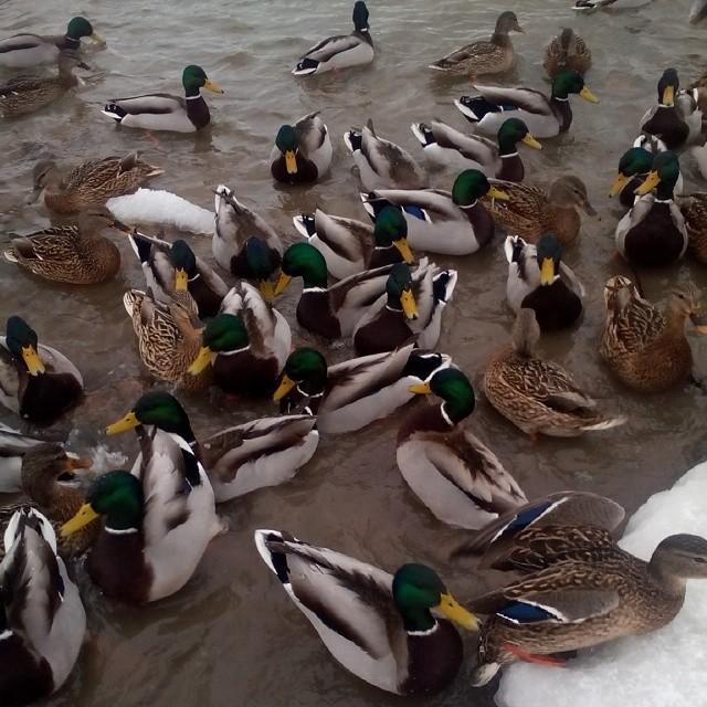Псковичи не правильно кормят уток на реке Мирожка