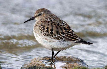 White-rumped Sandpiper, Grafham Water