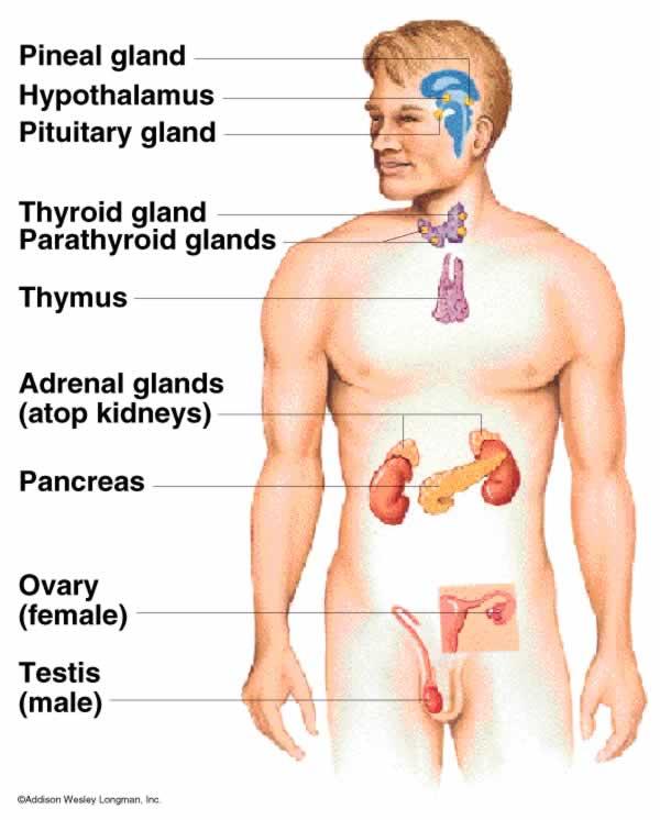 Hormon Manusia : hormon, manusia, Psikologi, Adventures:, Mengenal, Lebih, Kelenjar, Endokrin, Penghasil, Hormon