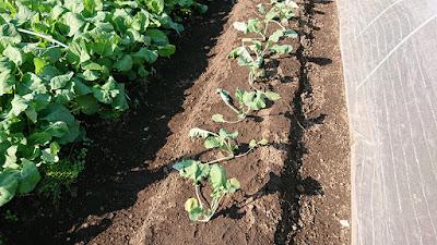植え付けた茎立菜の苗