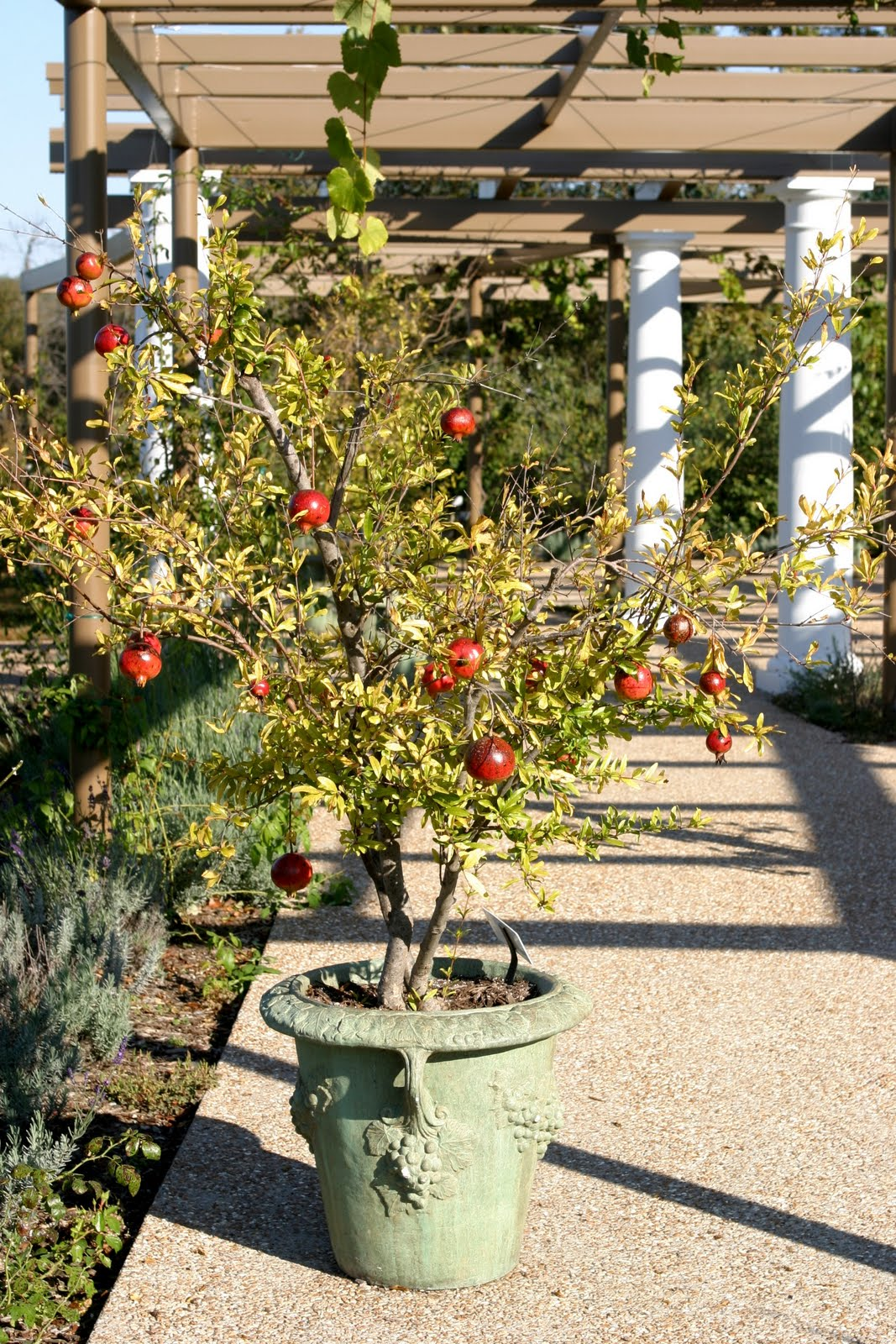 Easy Tips How to Grow Pomegranate From Seed, Grow Your Own Pomegranate - Everything About Garden