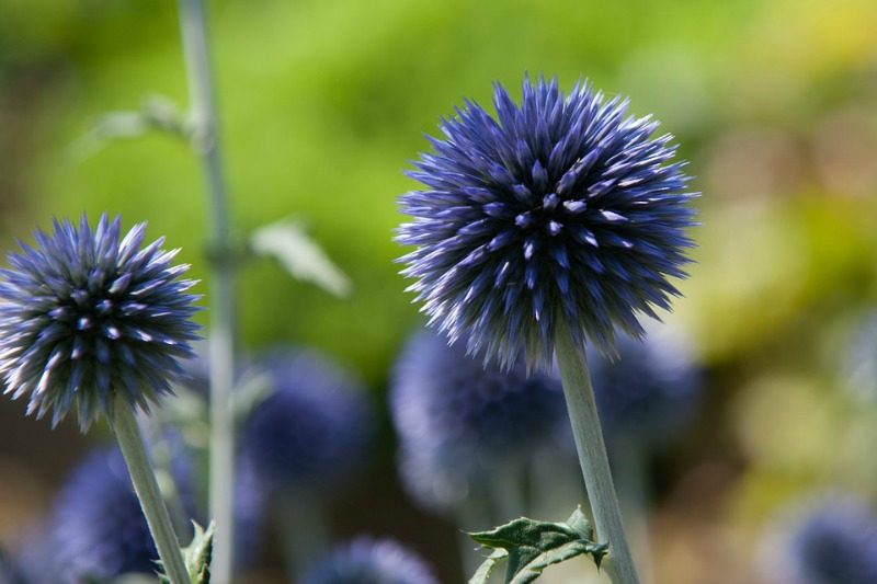 Echinops rito, Cardo azul
