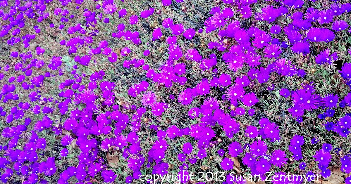 Fall Simply Southern Wallpapers San Diego Daily Photo Carpet Of Purple Flowers