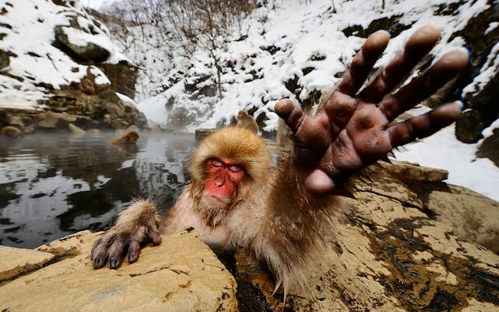 Japanese Snow Monkeys Bathing in Hot Springs 2