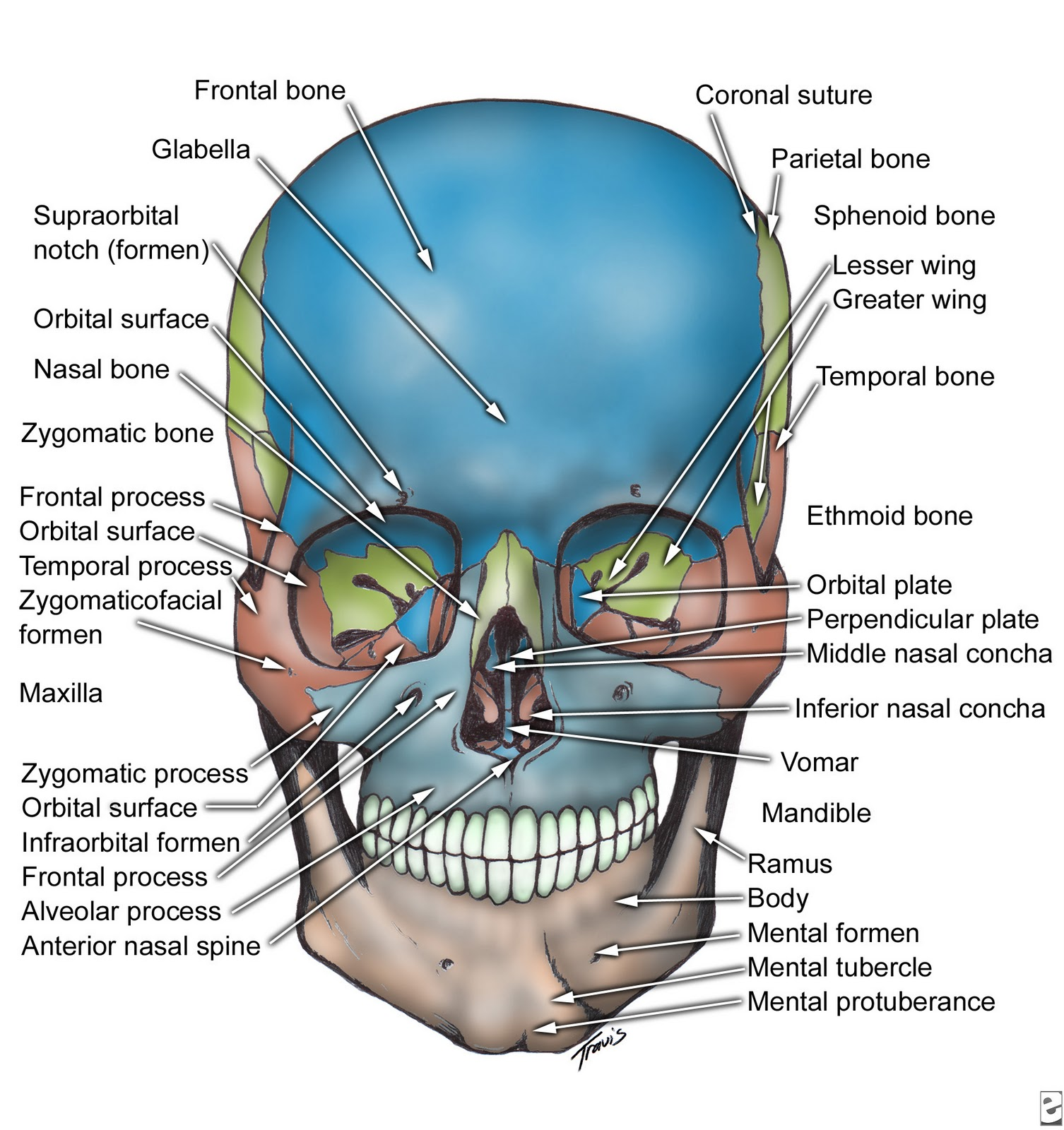Principles Of Human Anatomy And Physiology Chapter 7