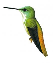 hummingbirds of the world