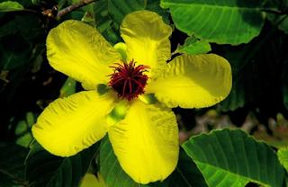 Bunga Nasional Brunei Darussalam