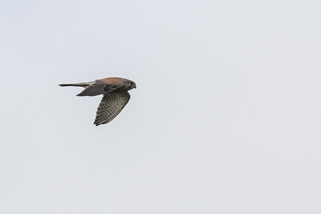 Rapid Flight of a Kestrel