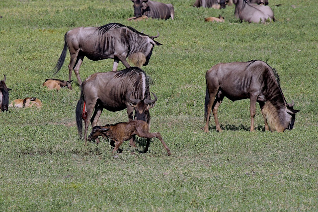 Buy office art of Newborn Wildebeest