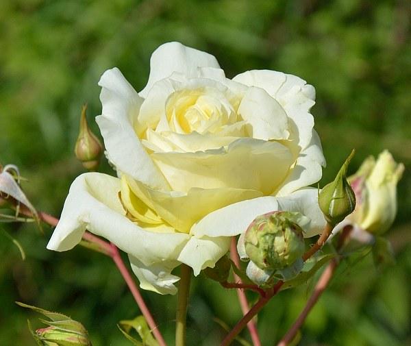 Elfe сорт розы фото