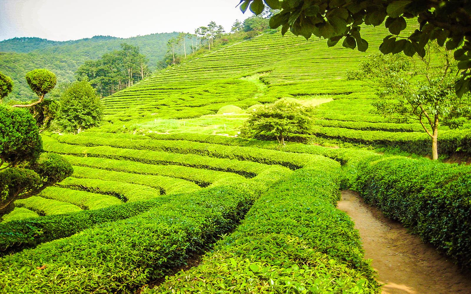 Boseong Green tea South Korea