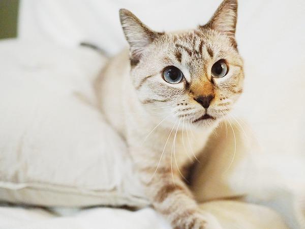 狙いを定めて近づくシャムトラ猫