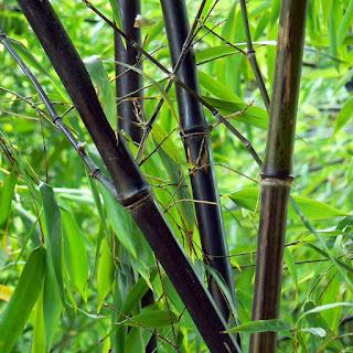 Phyllostachys nigra - Bambu negro