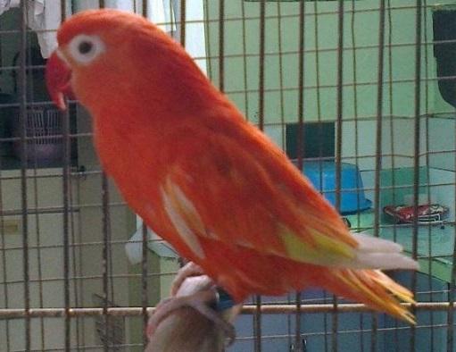 ada apa dengan lovebird merah ini salam kicau mania