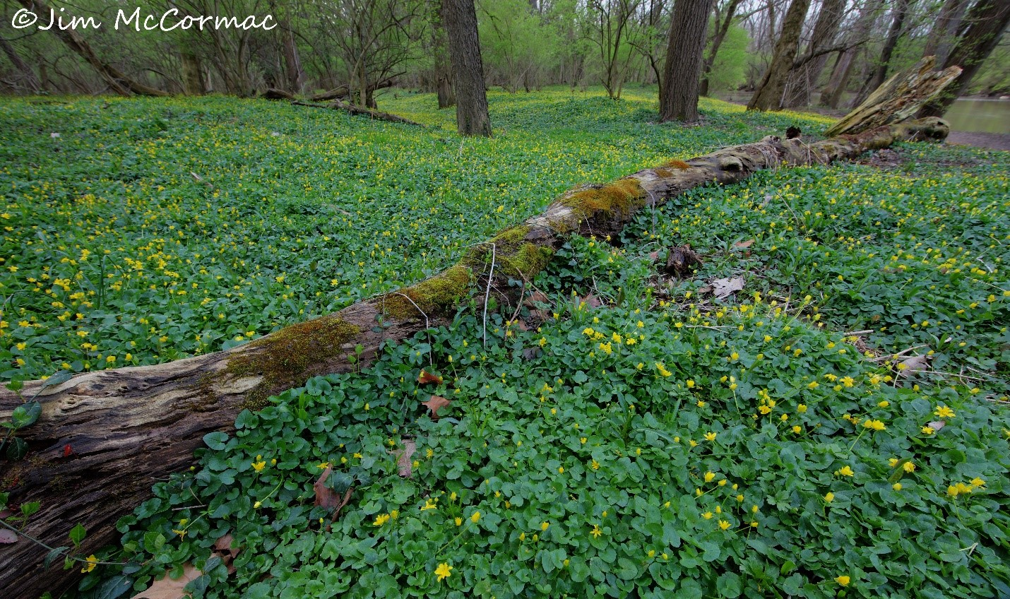 Lesser celandine a botanical disaster acres and acres of rich floodplain forest are blanketed with dense mats of a highly invasive eurasian plant the lesser celandine ficaria verna mightylinksfo