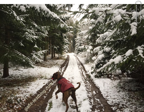 Boxer Amy im Winterwald