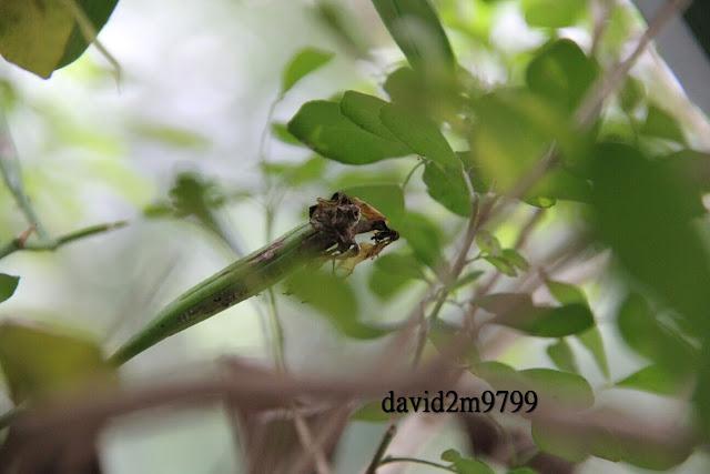 Phalaenopsis aphrodite subsp. formosana 臺灣蝴蝶蘭臺灣阿嬤,臺灣阿婆
