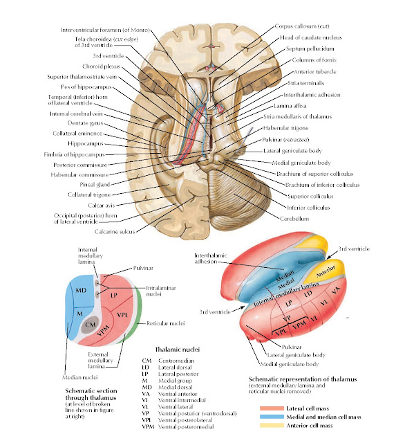 Thalamus and Related Structures Anatomy