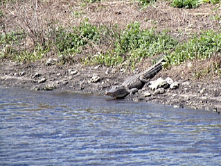 Alligator en el Ocean Canal