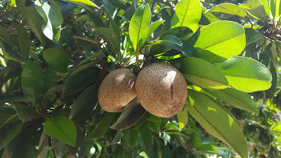 Health Benefits of Sapodilla (Sapota) Fruit For Beauty and Body Healthy
