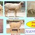 Sheep in Rajasthan - राजस्थान में भेड़ पशु संसाधन