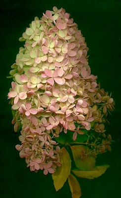 Pink/white Oak Leaf hydrangea bloom on black background