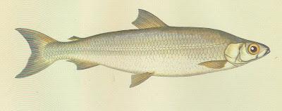 peces en extinción Pollan Coregonus pollan