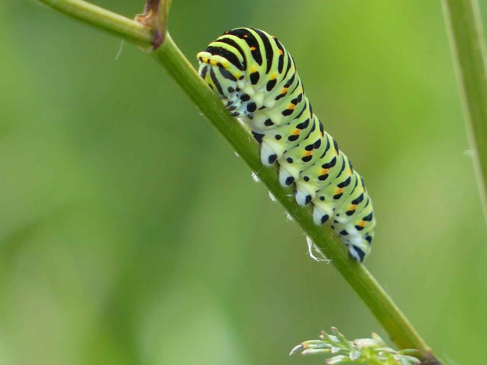 ссылки прон из каких гусениц появляются махаоны фото выпуске