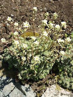Saxifrage paniculée - Saxifrage aïzoon - Saxifraga paniculata - Saxifraga aizoon