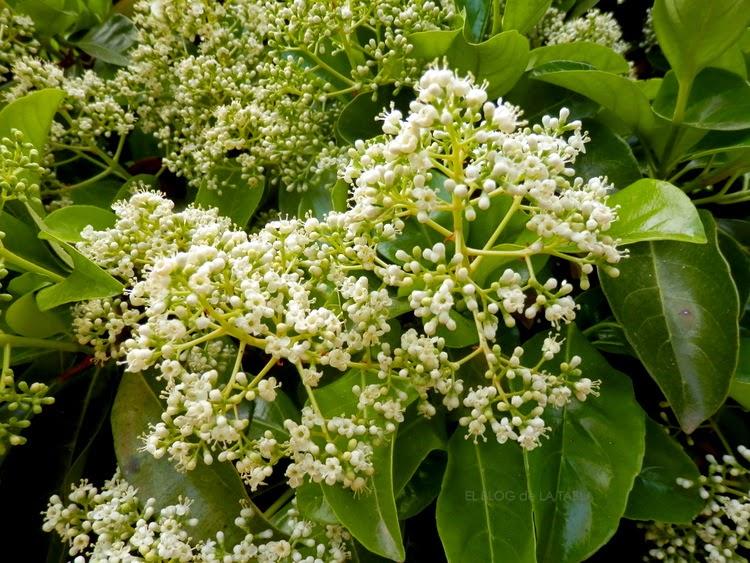 arbusto perenne con flores en primavera que atraen abejas