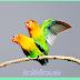SEXING LOVEBIRD PENENTUAN JENIS KELAMIN