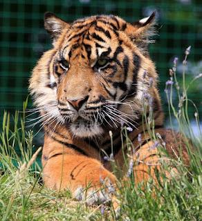 El número de tigres aumenta en los últimos cinco años