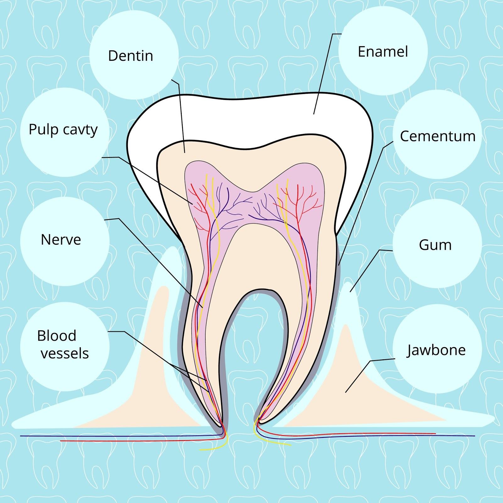 Tooth Anatomy - Premier Dental Associates of Lower Manhattan