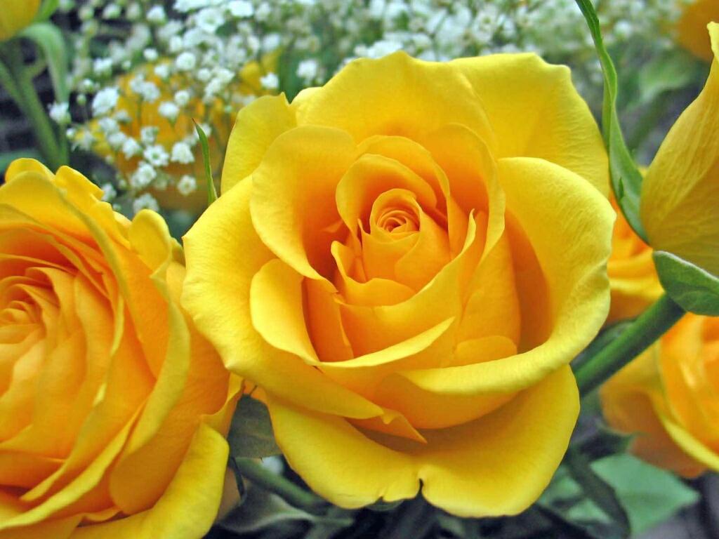 flowers for flower lovers.: Rose flower desktop wallpapers.