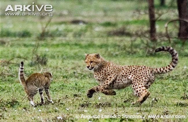Chita and Wild Cat