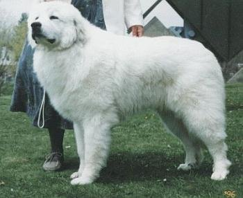 great pyrenees fun animals wiki videos pictures stories. Black Bedroom Furniture Sets. Home Design Ideas