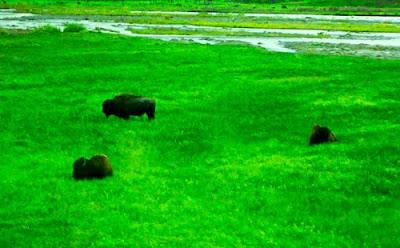 Bison Buffalo Lamar Valley Yellowstone National Park