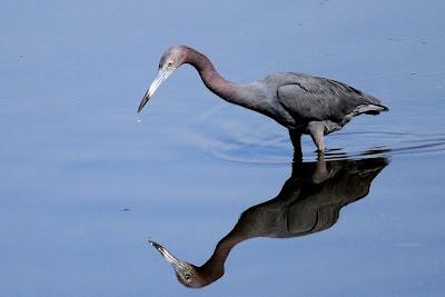 Garza azul: Egretta caerulea