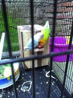 Ciri-ciri lovebird ingin bertelur