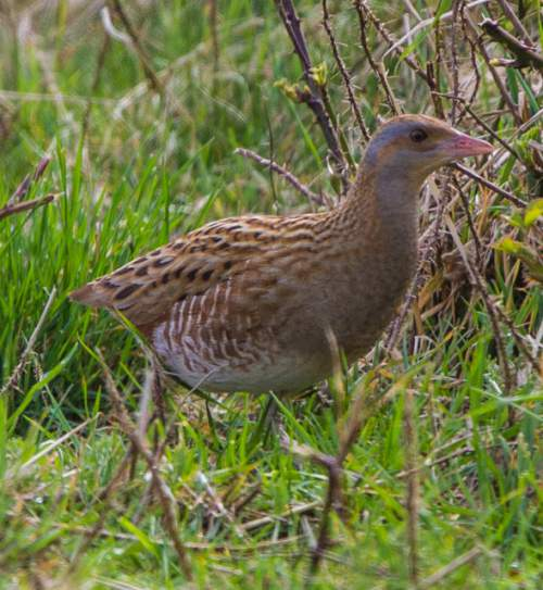 Birds of India - Corncrake - Crex crex